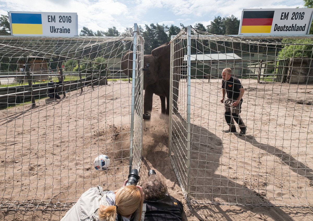 La elefanta Nelly apostó a que Alemania vencerá a Ucrania en la Euro. Foto: Reuters