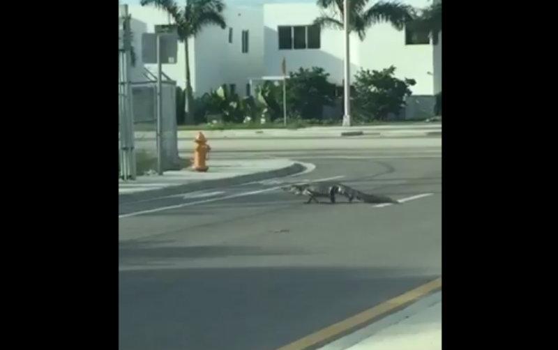 Caimán se pasea por las calles de Miami