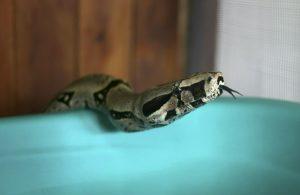 OMS lanza 1er plan para abordar las mordeduras de serpiente
