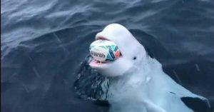 Captan a ballena beluga jugando rugby en el Polo Sur